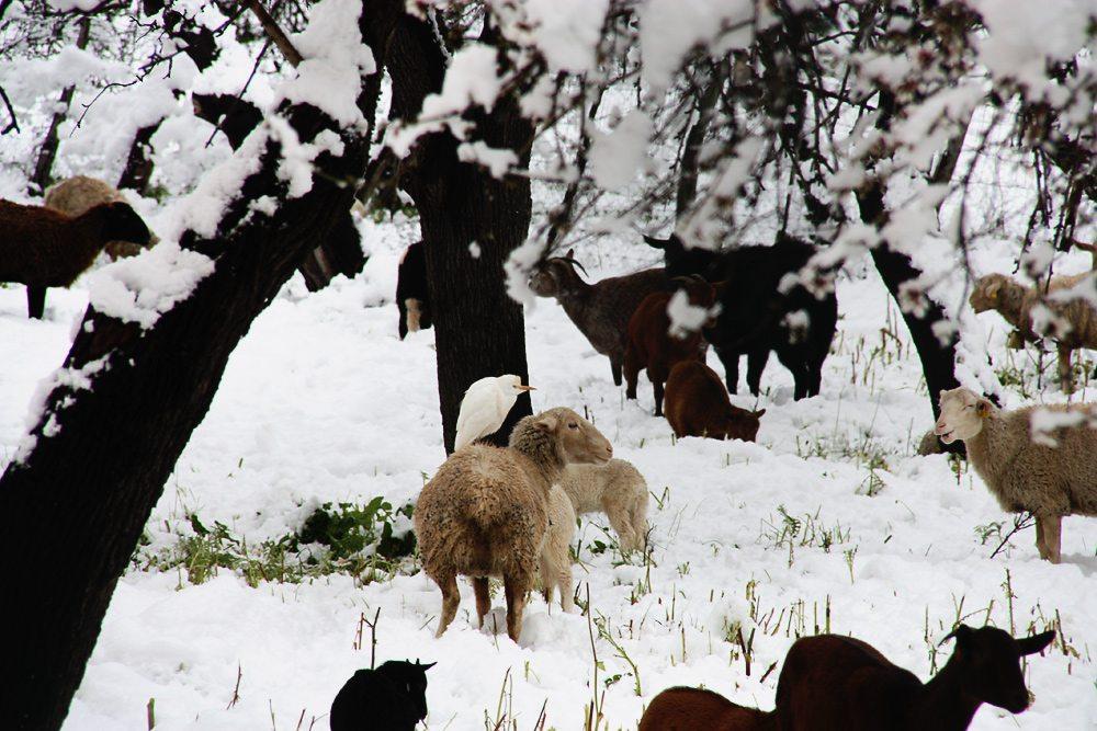 Andratx-Winter-Schnee-Schafe