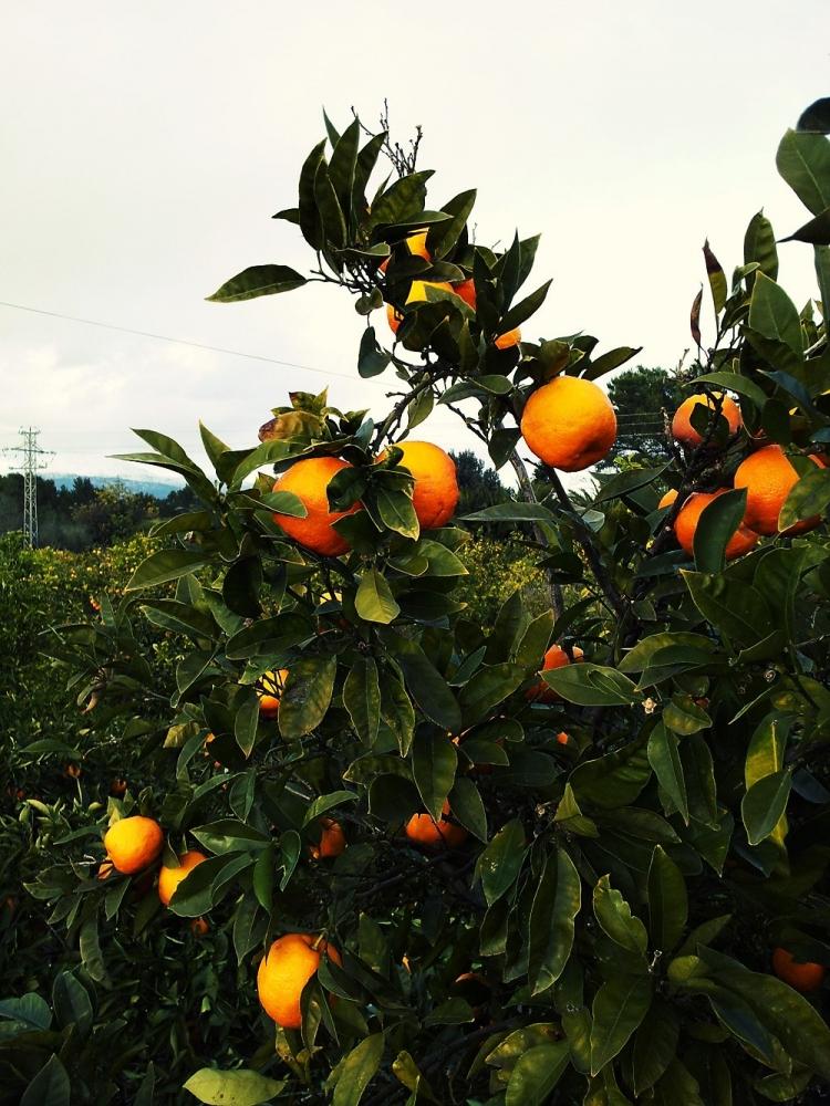 Orangenbaum-Natur