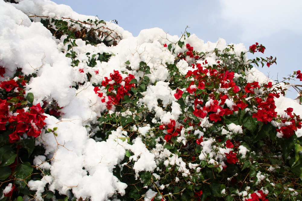 Mallorca-Schnee-Pflanzen
