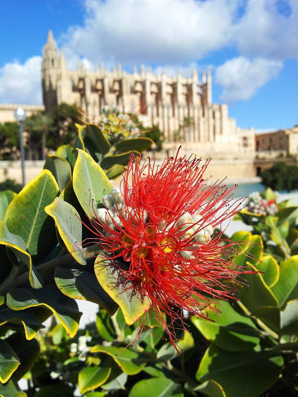 Palma-Kathedrale-Blume