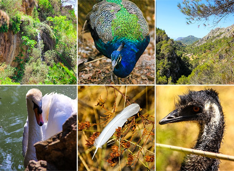 Mallorca-La-Reserva-Puig-de-Galatzo-Voegel-Pfau-Schwan-Emu-Natur