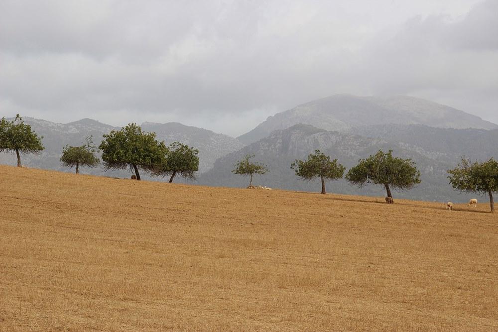 Mallorca-Feld-Schafe-Berge