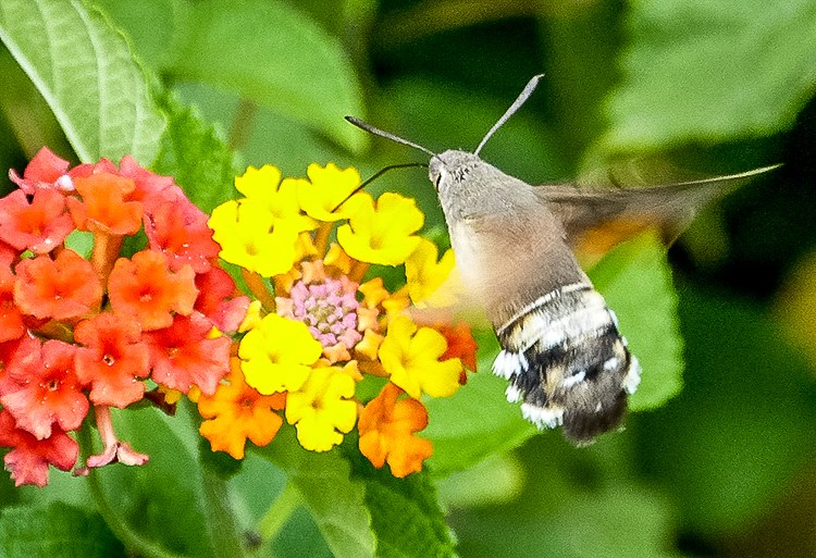 Mallorca-Falter-Taubenschwaenzchen-Blumen-11-2