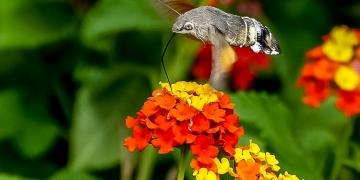 Mallorca-Falter-Taubenschwaenzchen-Blumen-12-2-360x180