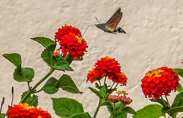 Mallorca-Falter-Taubenschwaenzchen-Blumen-2-2