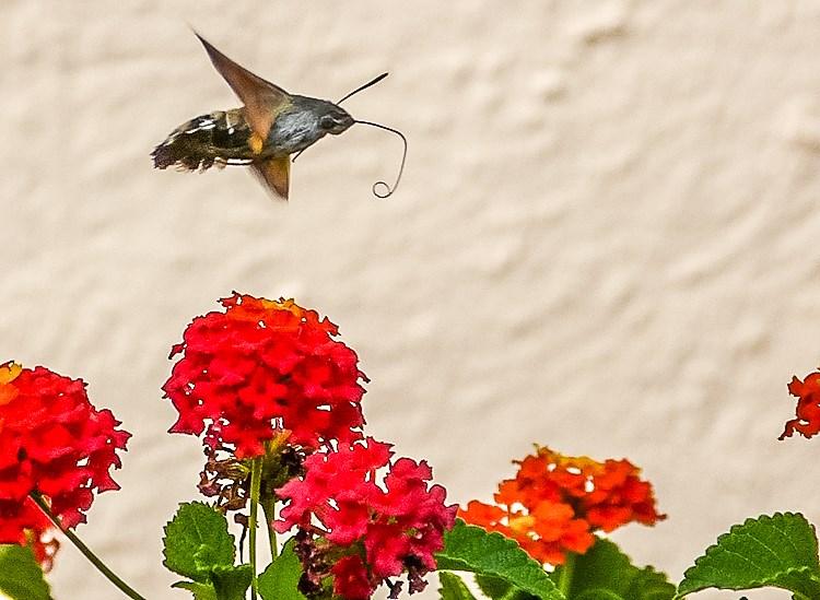 Mallorca-Falter-Taubenschwaenzchen-Blumen-4-2