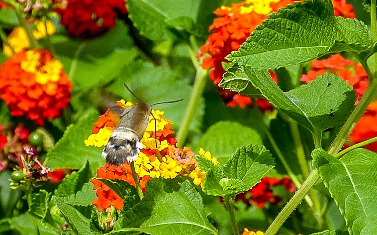 Mallorca-Falter-Taubenschwaenzchen-Blumen-6-2