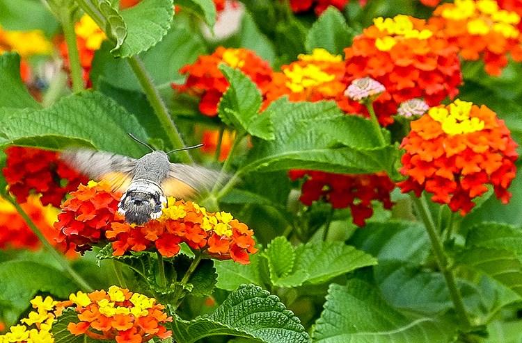 Mallorca-Falter-Taubenschwaenzchen-Blumen-8-2