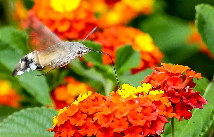 Mallorca-Falter-Taubenschwaenzchen-Blumen-9-2