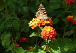 Mallorca-Biniagual-Schmetterling-300x209