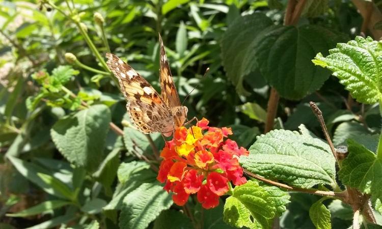Mallorca-Capdepera-Schmetterling-Blume-Nahaufnahme