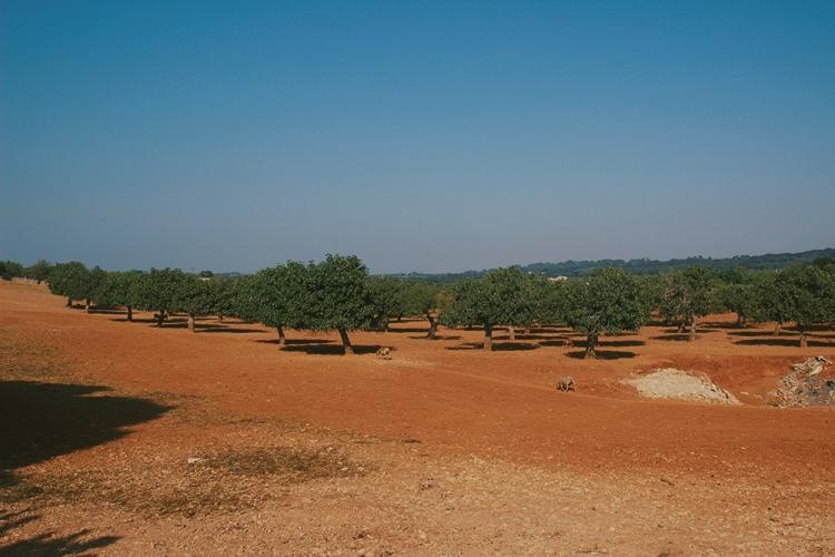 Mallorca-Petra-Baeume-Feld