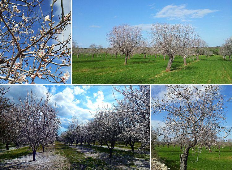 Mallorca-Mandelbluete-Felder-Wiese