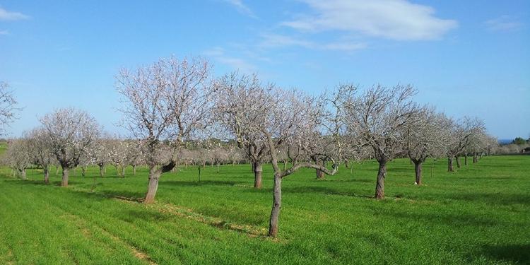 Mallorca Mandelbluete Winter 3