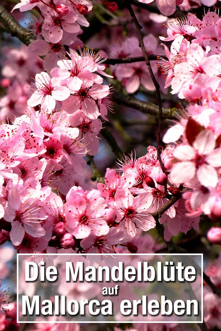 Mandelbluete-Mallorca-Tipps-Fruehling-Pinterest