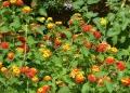 Mallorca-Biniagual-Blumen-Schmetterlinge-120x86