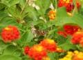 Mallorca-Biniagual-Blumen-Schmetterlinge-2-120x86