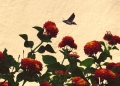 Mallorca-Biniagual-Blumen-Taubenschwaenzchen-120x86