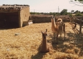 Rancho-Grande-Alpakas-120x86