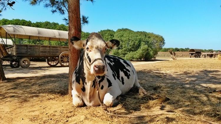 Rancho-Grande-Kuh