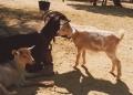 Rancho-Grande-Ziegen-120x86