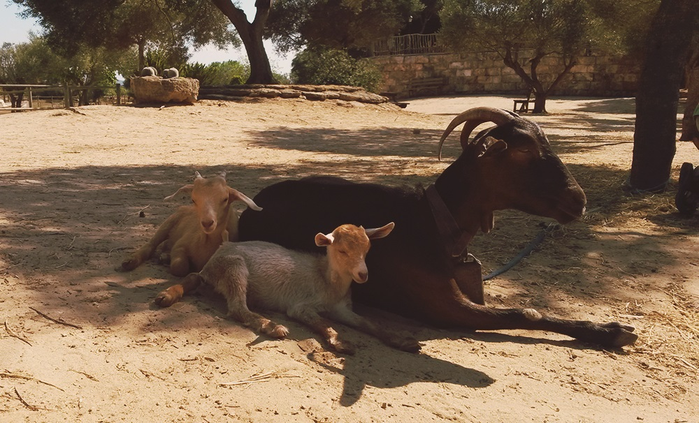 Rancho-Grande-Ziegen-2
