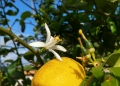 Mallorca-Finca-Petra-Garten-Zitrone-120x86