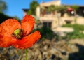 Mallorca-Finca-Petra-Mohnblume-120x86