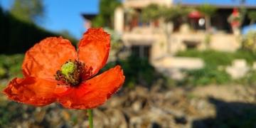 Mallorca-Finca-Petra-Mohnblume