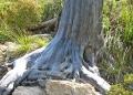 Mallorca-Betlem-Wanderung-Baumstumpf-120x86