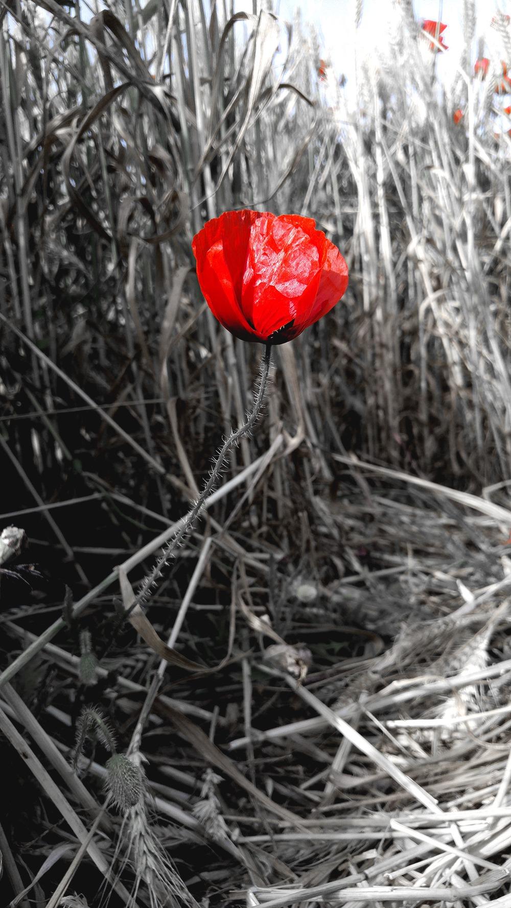 Mallorca-Mohnfeld-Natur-Menschen-Ferne-Blume-Einzeln