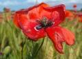 Mallorca-Mohnfeld-Natur-Menschen-Ferne-Blume-Nahaufnahme-120x86