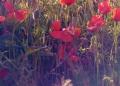 Mallorca-Mohnfeld-Natur-Unten-120x86