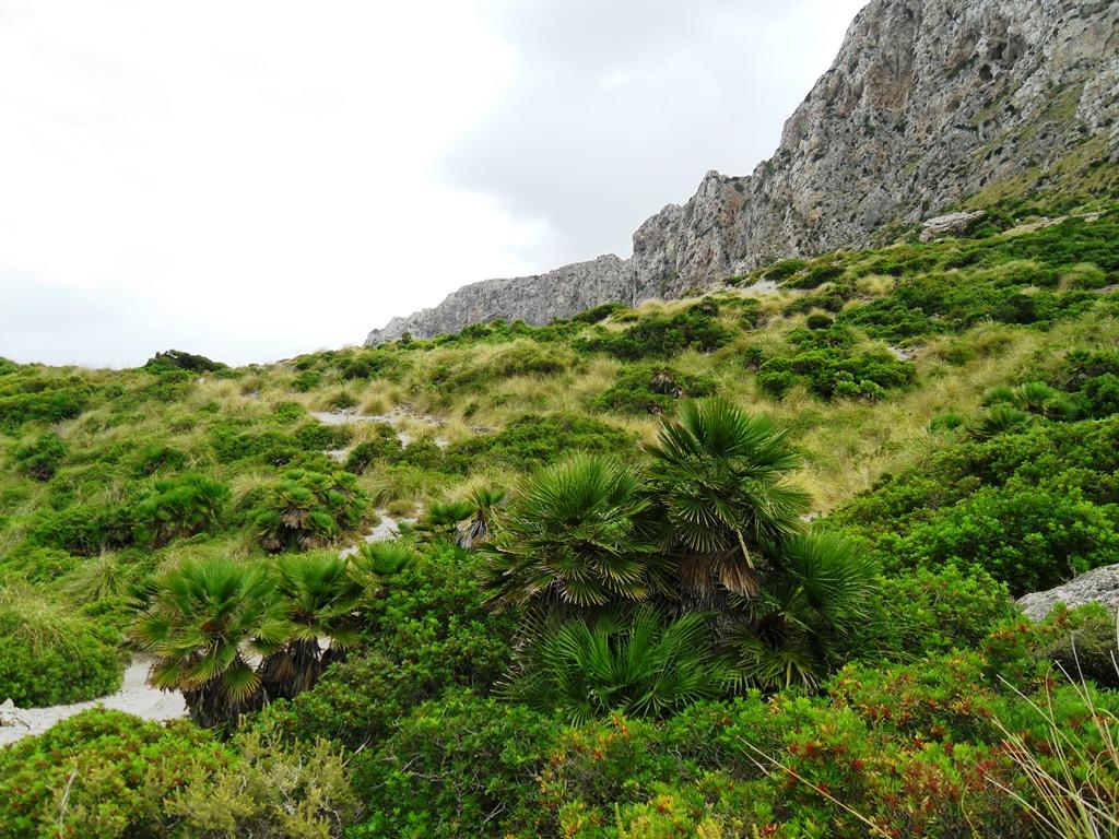 Maccia-Landschaft-mit-Zwergpalmen
