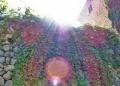 Mallorca-Deia-Mauer-Efeu-120x86