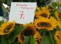 Mallorca-Markttag-Alaro-Sonnenblumen-120x86