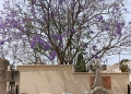 Mallorca-Palma-Friedhof-Baum-Blueten-120x86