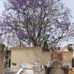 Mallorca-Palma-Friedhof-Baum-Blueten-150x150