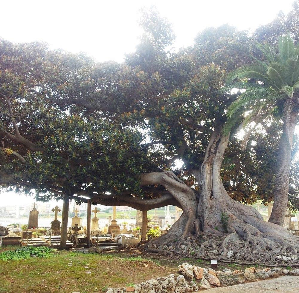 Mallorca-Palma-Friedhof-Eine-riesige-Feige-die-Schatten-spendet