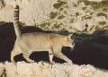 Mallorca-Cap-Formentor-Leuchtturm-Getigerte-Katze-Spaziergang-Mauer-120x86