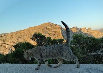 Mallorca-Cap-Formentor-Leuchtturm-Getigerte-Katze-Spaziergang-Mauer-2