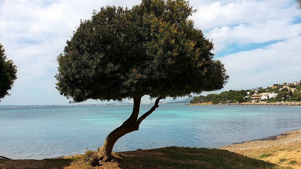 Mallorca-Alcanada-Strand-Baum-Schatten