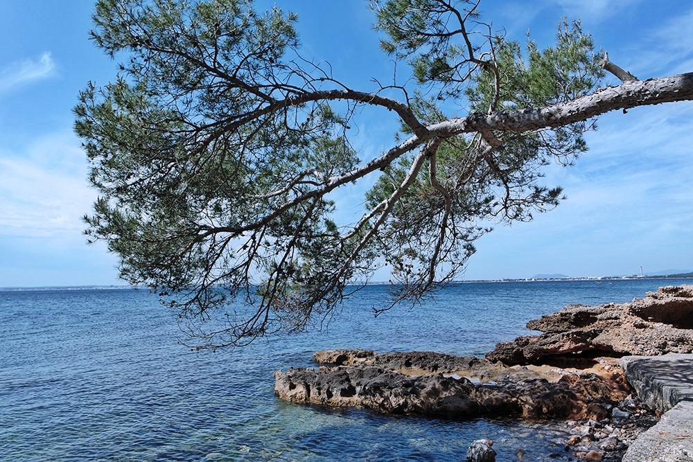Mallorca-Alcanada-Strand-Baum