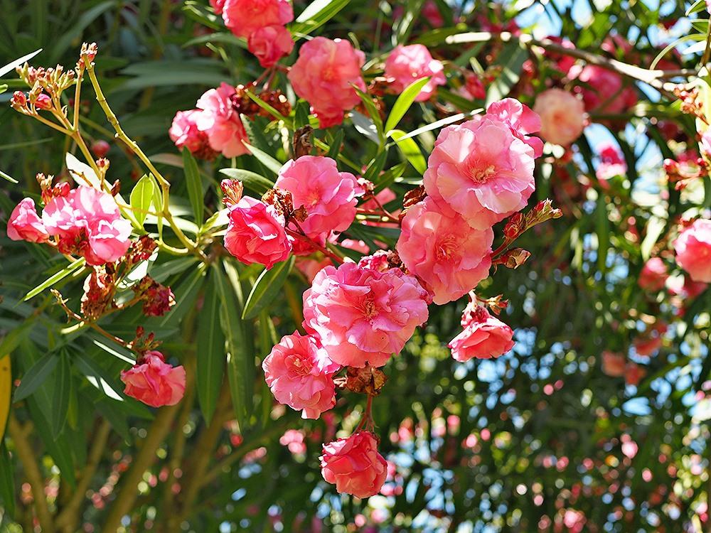 Mallorca-Palma-Marivent-Gaerten-Blumen