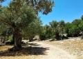 Mallorca-Sa-Foradada-Wanderung-Baeume-Weg-Schatten-120x86