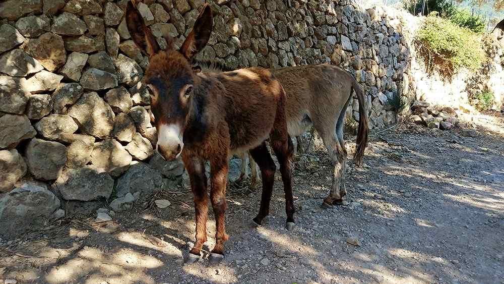 Mallorca-Sa-Foradada-Wanderung-Esel-Weg-4