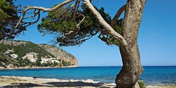 Mallorca-Strandfueher-Canyamel-Baum-360x180