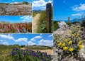 Mallorca-Strand-Son-Serra-de-Marina-Vegetation-Details-Blumen-2-120x86