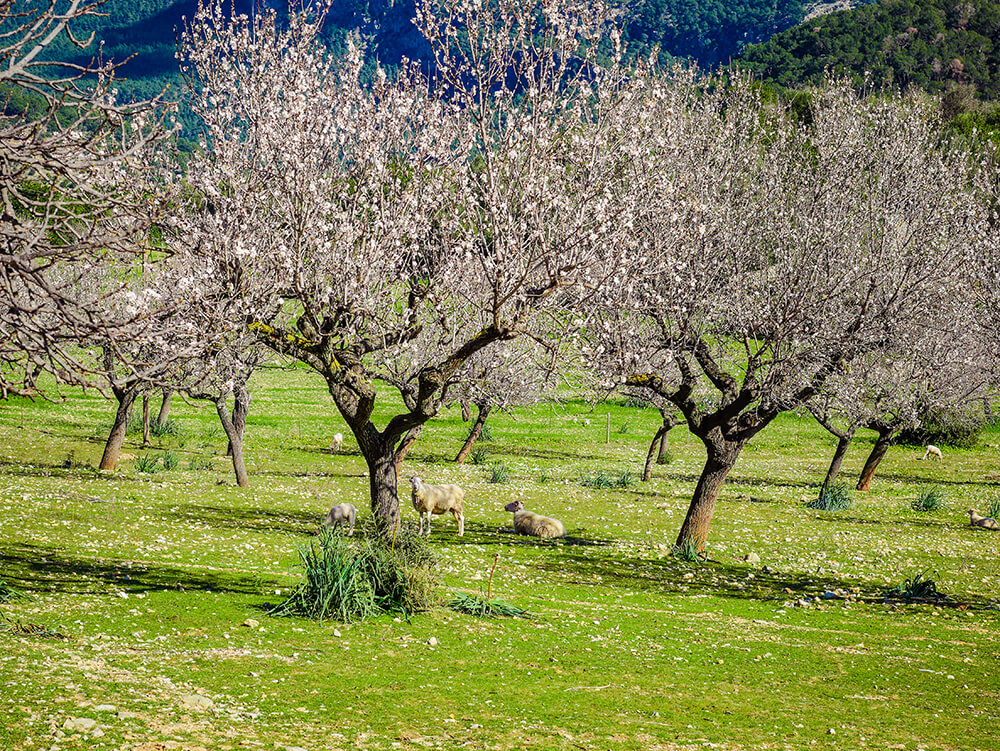 Mallorca-Tramuntana-Finca-Landhotel-Alqueria-Blanca-Natur-Mandelbluete-Schafe