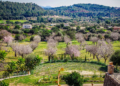 Mallorca-Mandelbluete-Fruehling-1-120x86